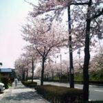 中尊寺から毛越寺へ向かう途中の桜並木