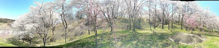桜風景パノラマ