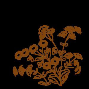 小菊のイラスト
